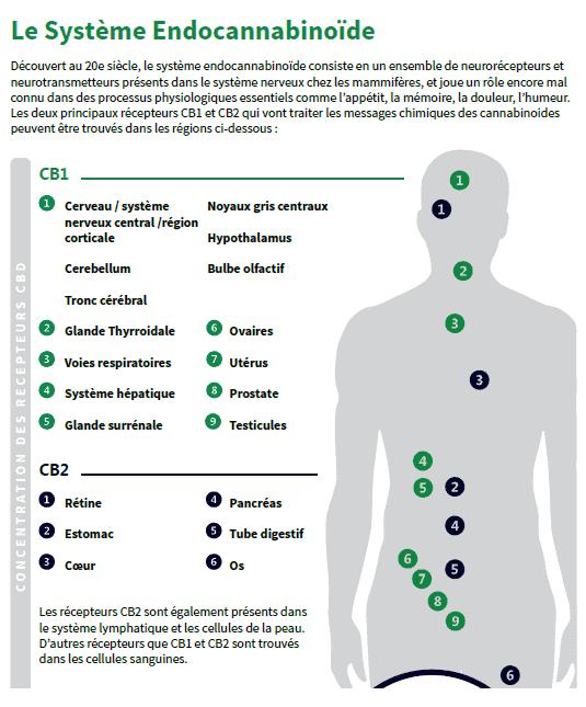 systeme endocannabinoide