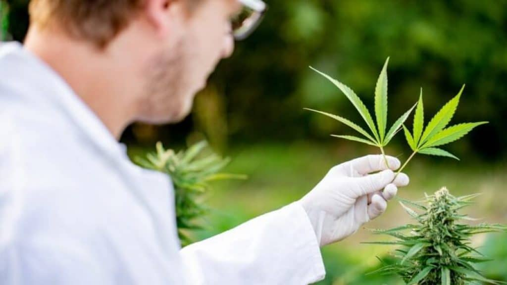 docteur cannabis therapeutique
