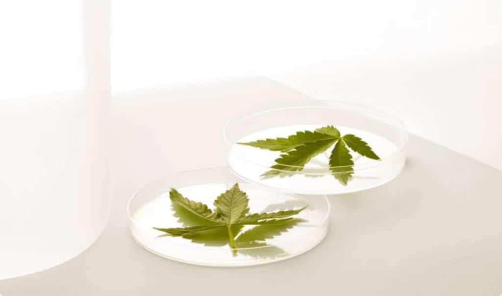 cannabis legal fleur cbd
