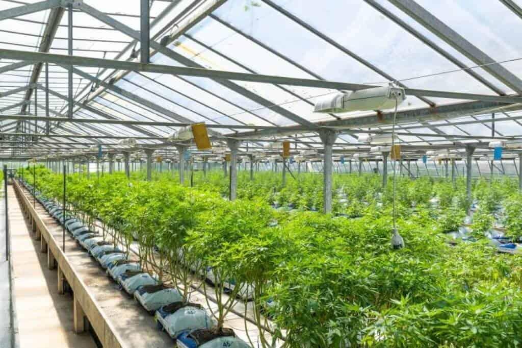 fleurs de CBD cannabis greenhouse